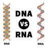 Apa Saja Perbedaan RNA dan DNA?