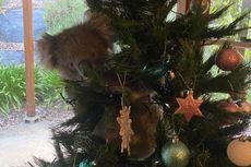 Seekor Koala Panjat Pohon Natal di Rumah Orang dan Tak Mau Turun