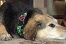 Anjing Cari Bantuan buat Tuannya Setelah Jadi Korban Tabrak Lari