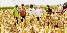 Panen Masih Berlangsung, Kabupaten Grobogan Siap Penuhi Kuota Jagung 30.000 Ton