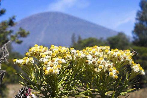 Video Viral Pendaki Petik Edelweiss di Gunung Buthak, Langsung Ditegur