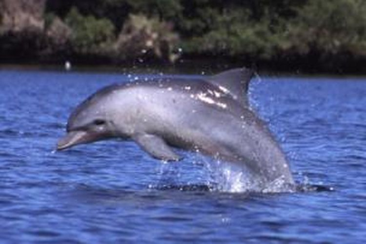 Lumba-lumba Hidung Botol
