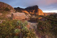 Perubahan Iklim Kian Ancam Pinus King Billy di Australia, Ini Sebabnya