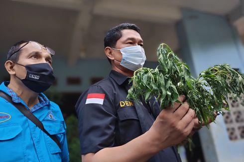 Adik Mantan Wali Kota Serang Budidaya Ganja di Polybag karena Saat Tanam di Ladang Sering Dicuri
