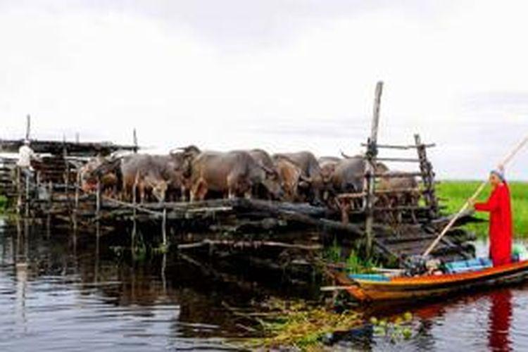 Kerbau Rawa Amuntai di Kalimantan Selatan.