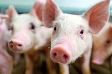 Apa Itu African Swine Fever, Penyebab 878 Babi di Palembang Mati Mendadak?