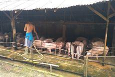 Gubernur Edy Minta Waktu 1 Bulan Putuskan Pemusnahan Ternak Babi di Sumut