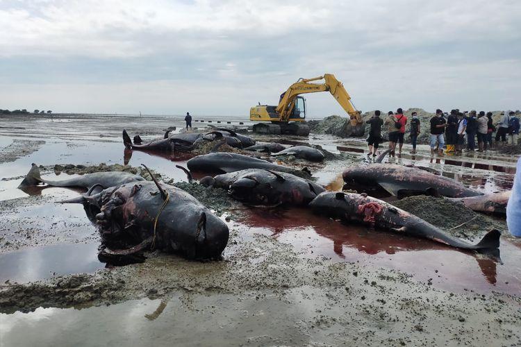 Proses Penguburan Bangkai Ikan Paus Pilot, Desa Patereman, Kecamatan Modung, Bangkalan, Jawa Timur, Sabtu (20/02/2021)