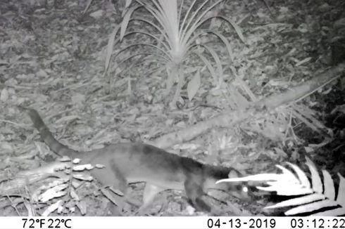 Musang Sulawesi Satwa Misterius Kembali Terekam Kamera