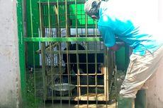 Dirawat 27 Hari, Macan Kumbang yang Masuk Rumah Warga Akan Dilepaskan