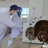 Mahasiswa Unesa Teliti Horshoe Crab Jadi Kandidat Antivirus Covid-19