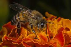 Kisah Pilu Lukas, Bocah 7 Tahun yang Tewas Tersengat Lebah Saat Cari Buah Bersama 2 Temannya