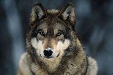 Serba Serbi Hewan: Benarkah Serigala Melolong ke Bulan?