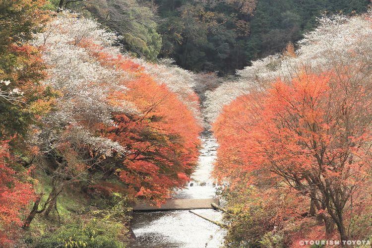 Pemandangan bunga sakura bermekaran saat musim gugur di Distrik Obara, Kota Toyota.