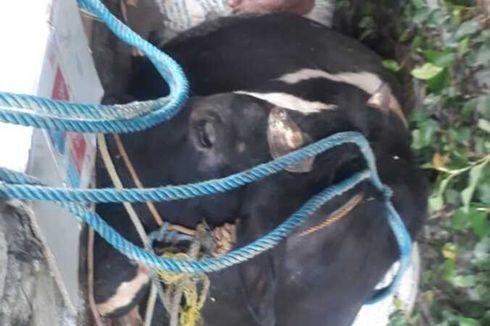 Sapi Kurban 250 Kg Terperosok ke Selokan, Proses Pengangkatan hingga Sejam