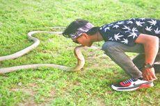 Rizky Tewas Dipatuk Ular King Kobra Peliharaan Saat Atraksi di CFD