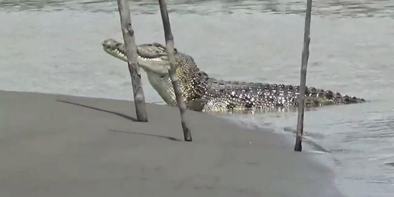 Video Detik Detik Buaya 5 Meter Muncul Lagi Di Sungai Budong Budong Halaman All Kompas Com