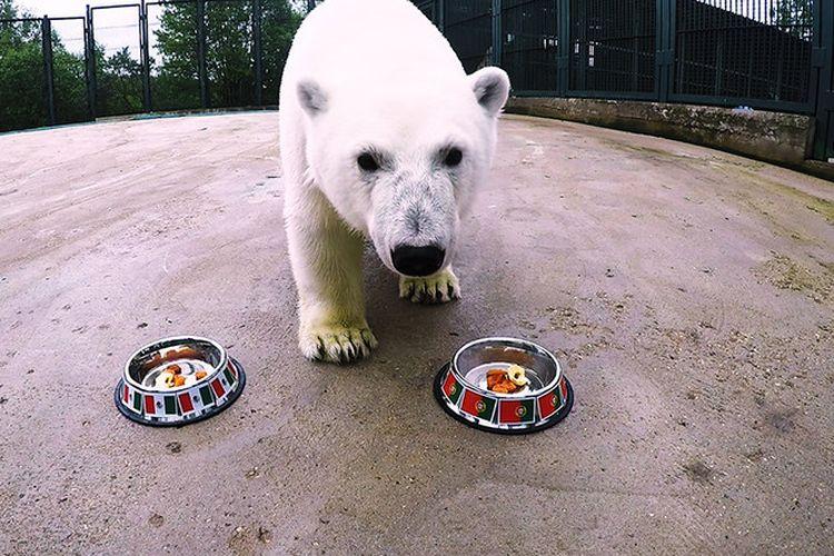 Nika, seekor beruang kutub, coba menebak pemenang antara Portugal dan Meksiko pada partai Piala Konfederasi di Kazan Arena, Minggu (18/6/2017).