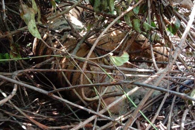 harimau sumatera yang ditemukan mati dengan kondisi leher terjerat di kawasan hutan produksi di Kabupaten Siak, Riau, Kamis (27/8/2020) lalu.