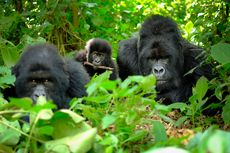 Ilmuwan Temukan Kesamaan Persahabatan Gorila dan Manusia dalam Bersosialisasi