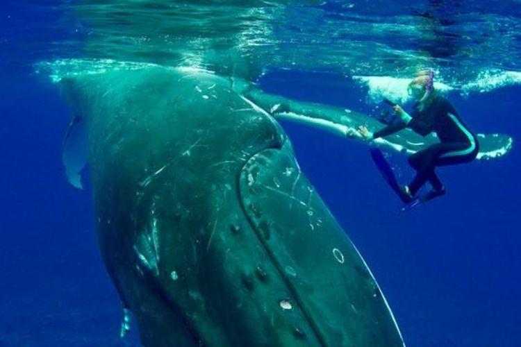 Seekor paus bungkus seberat 22 ton melindungi peneliti Nan Hauser dari serangan hiu macan.