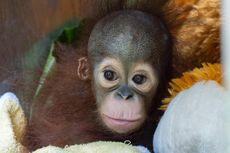 Bayi Orangutan Ditemukan di Pinggir Hutan, Dibawa ke Rumah Karantina