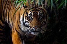 Animals Gone Wild: Indonesian Man Bluffs Sumatran Tiger Into Fleeing