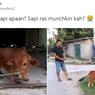 Viral Foto Sapi Berkaki Pendek, Jenis Apa Ini?