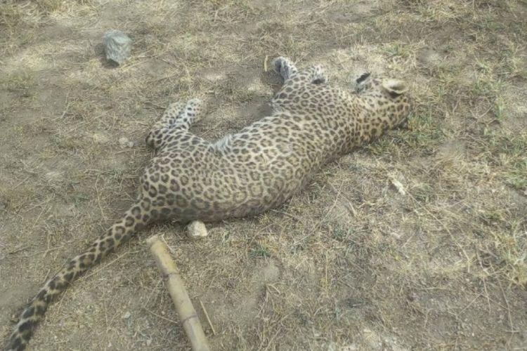 Macan tutul di India sekarat akibat dihajar warga. Hewan predator ini sebelumnya menyerang dua penduduk desa. (Times of India)