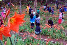 Musim Mekar Bunga Amaryllis di Patuk Akhirnya Berakhir
