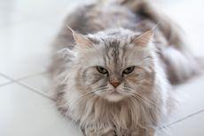 Kucing Himalaya, Si Cantik Hasil Kawin Silang Persia dan Siam