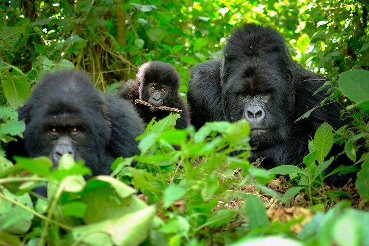 Ilustrasi gorila hutan.