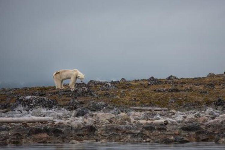 Beruang Kutub Kelaparan