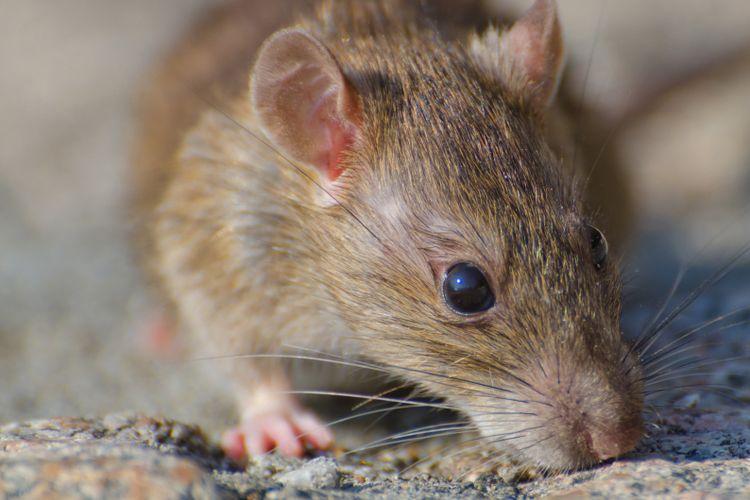Ilustrasi tikus.