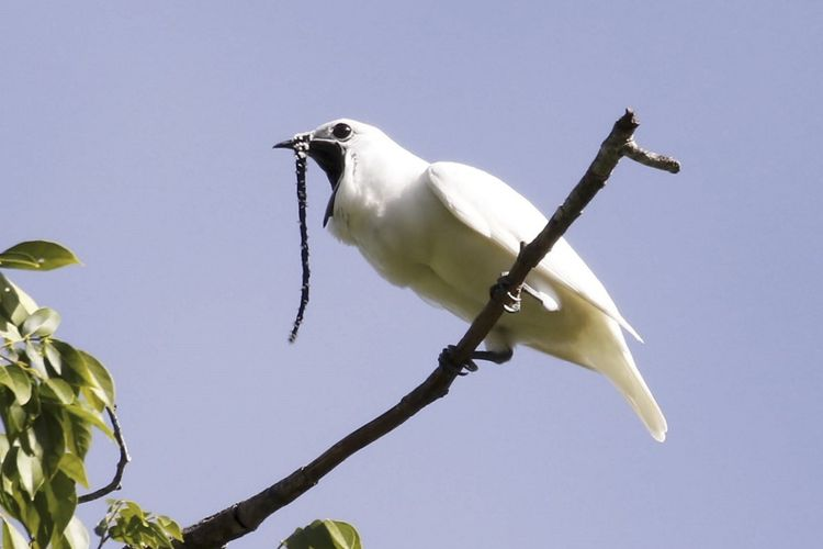 Burung bellbird jantan (Procnias albus) memiliki suara sangat keras ketika kawin, melebihi ambang batas rasa sakit manusia