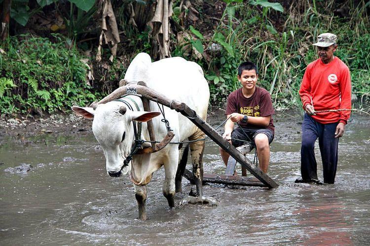 Pengunjung anak-anak berlatih membajak sawah di Desa Wisata Pentingsari.