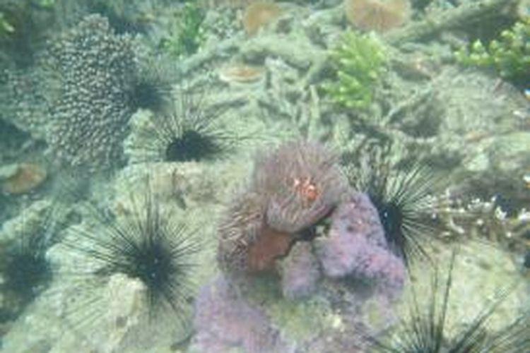 Salah satu terumbu karang yang mulai rusak akibat bom ikan di gugusan kepulaun Karimata, Kabupaten Kayong Utara, Kalimantan Barat.
