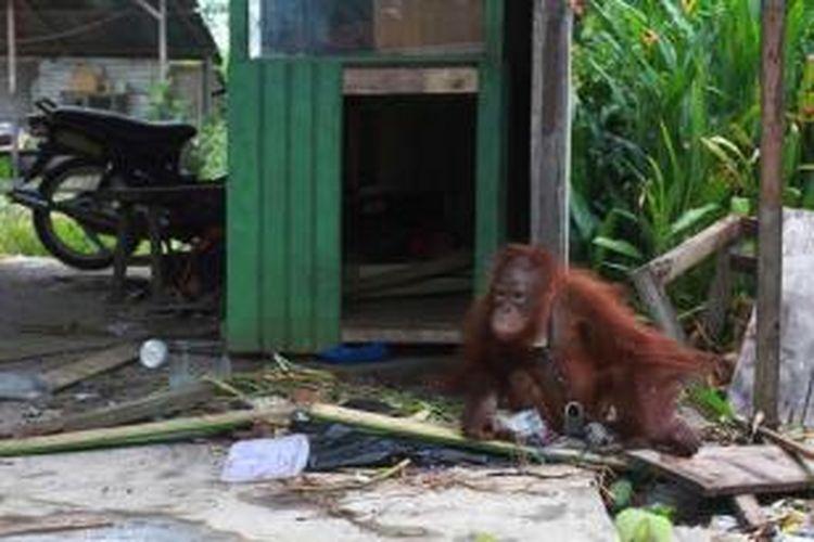 Orangutan yang dipelihara seorang warga Desa Korek, Kecamatan Ambawang, Kabupaten Kubu Raya, Kalbar, Selasa (6/10/2015).