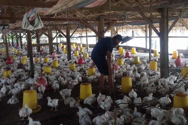 Seorang peternak memberi makan kepada ayamnya di Desa Ujung Rambung, Kecamatan Pantai Cermin, Serdang Bedagai. Peternak ayam mengalami kerugian akibat terdampak virus Corona atau Covid-19. Harga ayam anjlok di pasaran dan di saat yang sama harga pakan terus naik.