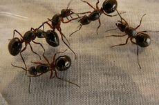 Cara Membuat Semprotan Pengusir Semut dengan 5 Bahan Ini