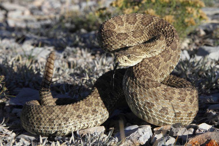Ilustrasi ular derik. Ular derik mempunyai mekanisme pertahanan diri yang unik. Ular ini menggunakan ilusi pendengaran untuk mengelabui manusia.