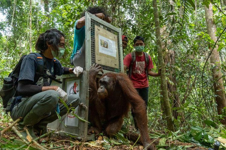 Balai Konservasi Sumber Daya Alam (BKSDA) Kalimantan Barat (Kalbar) bersama Yayasan Inisiasi Alam Rehabilitasi (IAR) Indonesia melepasliarkan lima individu orangutan di Taman Nasional Bukit Baka Bukit Raya (TNBBBR). Kelima individu orangutan yang dilepasliarkan terdiri dari tiga individu jantan bernama Jacky, Beno, dan Puyol, serta dua individu betina bernama Oscarina, dan Isin.