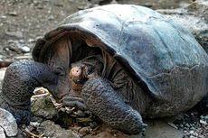 Diyakini Punah 1 Abad Lalu, Kura-kura Raksasa Ini Muncul di Galapagos