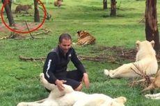 Nyaris Diterkam Macan Tutul, Staf Kebun Binatang Diselamatkan Harimau
