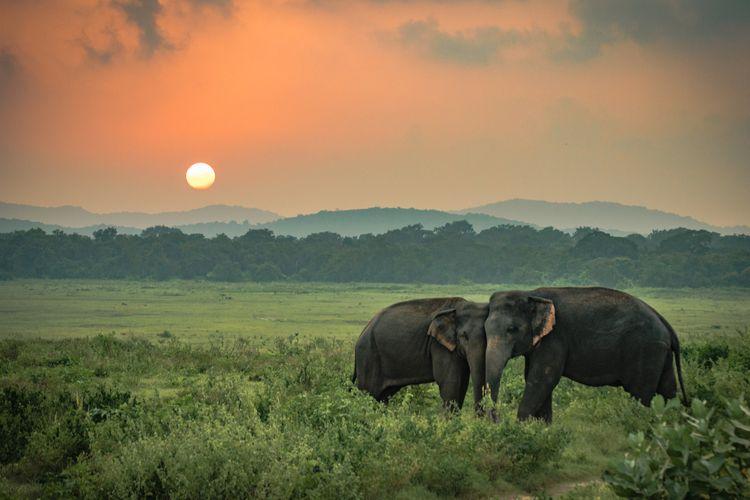 Dua ekor gajah liar di Sri Lanka