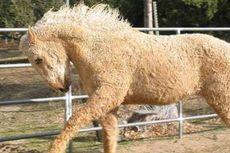 Rambut Ras Kuda Ini Menjadi Keriting saat Musim Dingin