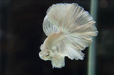 Ikan Cupang Perlu Diberi Garam Ikan, Apa Manfaatnya?