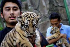 Anaknya Pelihara Harimau di Rumah, Ibunda Alshad Ahmad Sempat Ingin Pindah Rumah