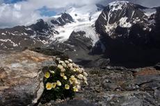 Gletser Mencair, Bunga Endemik Pegunungan Alpen Terancam Punah