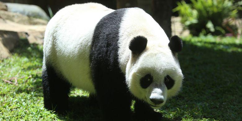 Seekor panda (Ailuropada melanoleuca) asal China diperlihatkan seusai proses karantina di Istana Panda Indonesia, Taman Safari Indonesia Bogor, Jawa Barat, Rabu (1/11/2017). Sepasang panda, Cai Tao (jantan) dan Hu Chun (betina) yang berasal dari pengembangbiakan di China Wildlife Conservation Association (CWCA) akan diperkenalkan untuk publik pada November 2017.